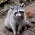 Rocky Racoon Untethered iOS 5.1.1 Patch for Already Jailbroken iPhone 4 or 3GS