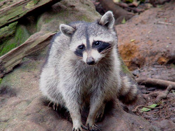 rocky-racoon